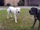 Cane corso vs dogue argentin, qui est le meilleur ?