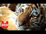 Un chien Pinscher et un tigre jouent ensemble dans un cirque