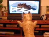 Cairn Terrier heureux de regarder la télévision