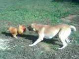 Une confrontation entre un chien et un coq