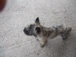 Chien CAIRN TERRIER DEIKO - Cairn Terrier  (0 mois)
