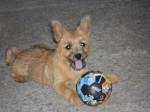 Chien Heavy - Cairn Terrier  (0 mois)