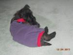 Chien santa in overalls - Cairn Terrier Mâle (9 mois)