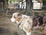 Chien Hawai - Berger Australien Femelle (4 ans)