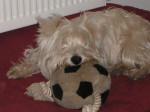 Chien Westie , U2                (West Highland White Terrier) - Westie  (0 mois)