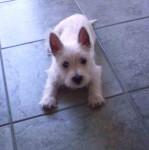 Chien West highland white terrier, Swiffer - Westie  (0 mois)