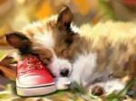 Chien Sleepy - Colley Mâle (3 mois)