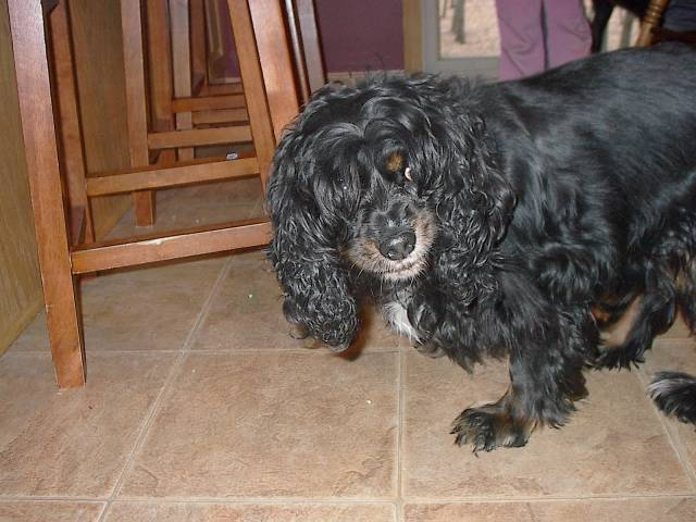 Chien Pebbles - King Charles Femelle (6 ans)
