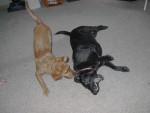 Chien Como - Labrador Femelle (5 ans)