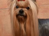 Horfeo's Yorkshire Terrier