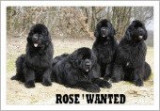 Rose' wanted