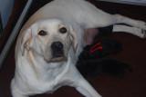 Labradors la Belle Vanille
