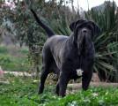 Les chiens de Florence