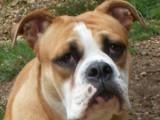 Les dalmatiens et continental bulldog de la Borde Riva