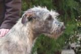 Irish wolfhound des sylphides de la baie d'argent