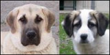 Cani da Guardia di San Beda
