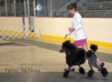 Caniche AMH Poodle