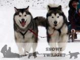 Alaskan Malamute of Snowy Twilight