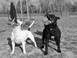 Educateur Canin/Eleveur de Staffordshire Bull Terrier