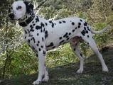Élevage Dalmatien - Golden - Braque