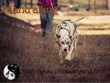Harmony Dog - Mantrailing