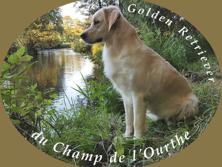 Élevage familial de Golden Retriever - Élevage de Golden