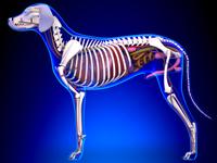 Anatomie & Morphologie du chien