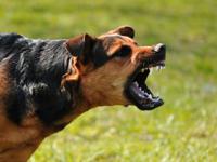 L'agressivité chez le chien