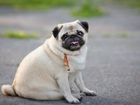 L'obésité du chien