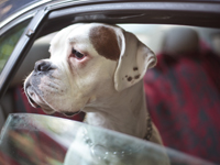 Le chien dans les transports et en voyage