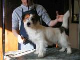 Conseils pour le toilettage du Jack Russell Terrier