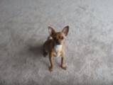 Speedy le Chihuahua dressé