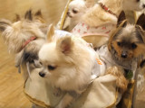 Au Japon, chiens et chats sont rois : la folie du « pet business »