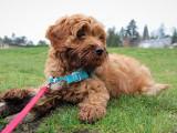 Le harnais easy walk : pour que le chien ne tire plus en laisse