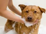 Laver son chien : le bain du chien
