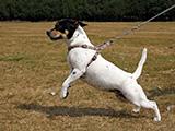 Choisir un harnais pour un petit chien