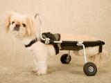 Les prothèses pour chien