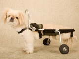 Matériel orthopédique pour chiens paralysés