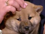 Adopter un Shiba Inu