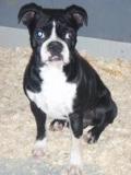 Canada -  81 chiens saisis par ANIMA-Québec disponibles pour adoption