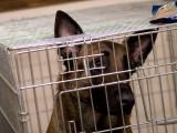 Adopter un chien de laboratoire