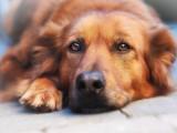 Adoption : 12 raisons et avantages d'adopter un chien âgé
