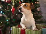Offrir un chien en cadeau (Noël, anniversaire...) : fausse bonne idée ?