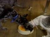 Des chiens végétariens
