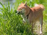 Herbe, cailloux, terre... : mon chien mange n'importe quoi