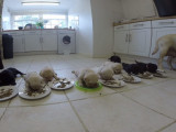 Des chiots labradors en plein repas
