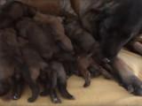 Une chienne de Montagne Portuguais allaite ses chiots