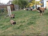 Une chienne de Montagne Portuguais en compagnie de ses chiots