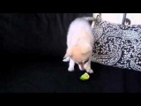 Un chiot qui découvre le goût du citron