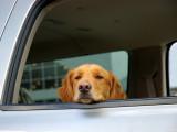 Le mal des transports chez le chien